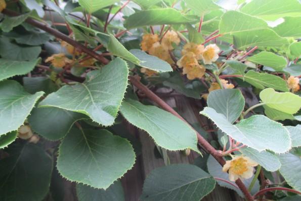 Kiwiblüten 002