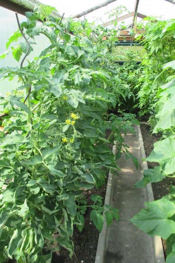 Tomaten 2 002