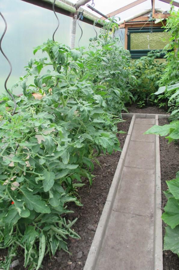 Tomatenpflanzen 002
